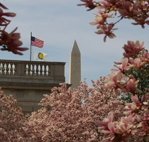 Magnolias and Washington Monument