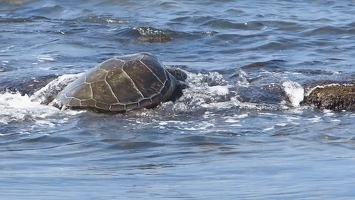 Video: Turtle heading out