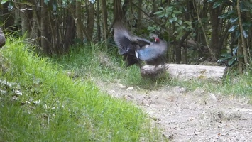 Video: Kalij Pheasant display