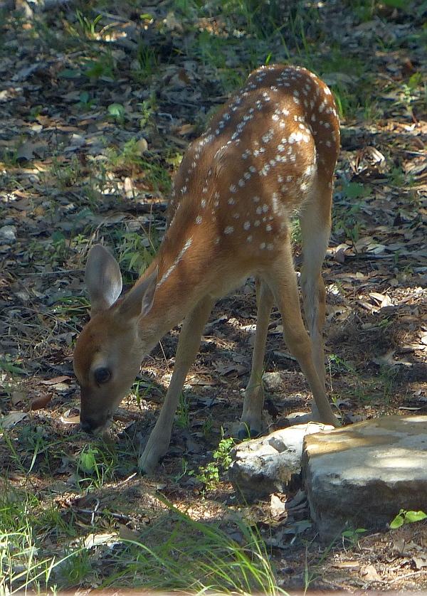 P1030396 baby deer