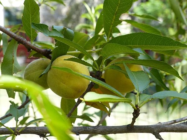 peachcots