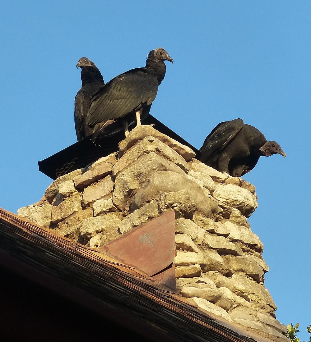 vultures_on_chimney
